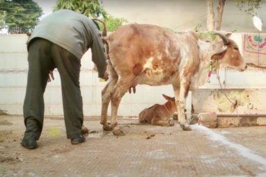 गाय का मूत्र
